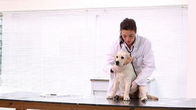 Vet checking a yellow labrador puppy stock video footage