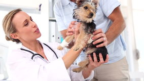 Vet checking a yorkshire terrier with its owner Royalty Free Stock Photography