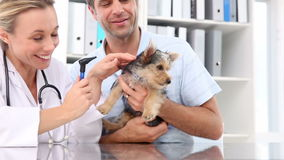 Vet checking a yorkshire terrier with its owner Stock Photography