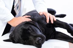 Vet checks the health of a dog Stock Photos