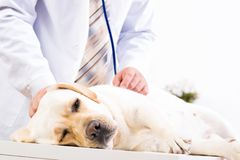 Vet checks the health of a dog Royalty Free Stock Photography
