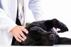 Vet checks the health of a dog Royalty Free Stock Images