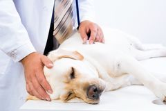 Vet checks the health of a dog Stock Images