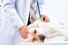Vet checks the health of a dog Stock Photo