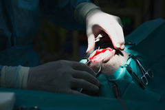 Vet Clinic Surgery. Herniated disc surgery on a dog at a vet clinic Royalty Free Stock Image