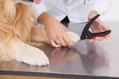 Vet clipping a labradors nails Stock Photos