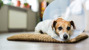 Vet collar dog. Sad dog lying on a bed sick with vet plastic Elizabethan collar Royalty Free Stock Images