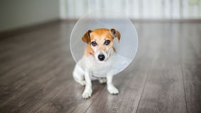Vet collar dog. Small dog Jack Russell terrier sitting with vet Elizabethan collar on the gray floor Royalty Free Stock Image