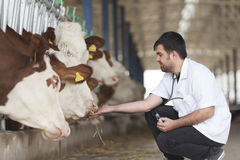 Vet And Cows. Vet male working at the barn with simmental cows stock photos