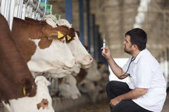 Vet And Cows. Vet male working at the barn with simmental cows royalty free stock photo