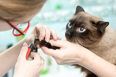 The vet cut the cats claws. White background royalty free stock photography