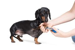 A vet cuts a dog`s claws with scissors for cutting the nails of the dog, isolated on white background royalty free stock photography