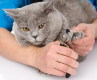 Vet cutting cat toenails.  on white background Stock Images