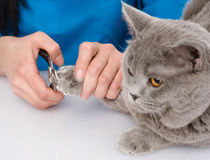 Vet cutting cat toenails.  on white background Royalty Free Stock Image