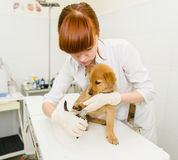 Vet cutting dog toenails Stock Images