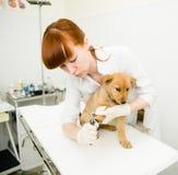 Vet cutting dog toenails Royalty Free Stock Photo