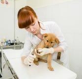 Vet cutting dog toenails Stock Photos