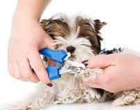 Vet cutting dog toenails. isolated on white background Royalty Free Stock Image
