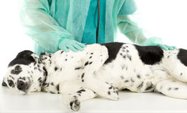 Vet with dalmatian dog Royalty Free Stock Photography