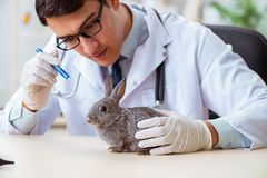 The vet doctor checking up rabbit in his clinic royalty free stock photography