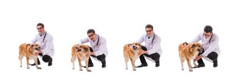 The vet doctor examining golden retriever dog isolated on white. Vet doctor examining golden retriever dog isolated on white royalty free stock image