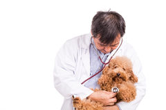 Vet doctor examining poodle dog with stethoscope on white backgr Royalty Free Stock Image