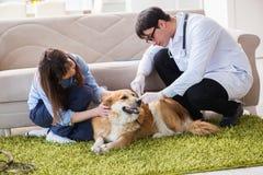 The vet doctor visiting golden retriever dog at home. Vet doctor visiting golden retriever dog at home Stock Image