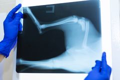 Vet doctor watching x-ray image of dog which jumped from sofa and broke leg stock photo