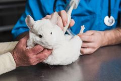Vet does an ultrasound chinchilla in clinic Stock Photo
