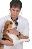 Vet and dog. One adult male veterinarian examining a beagle and giving a checkup with stethoscope over white Royalty Free Stock Photos