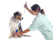 Vet and dog. Australian shepherd and perfusion in front of white background Stock Photography