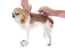 Vet and dog. Chihuahua and vaccination in front of white background Stock Photos
