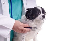 Vet and Dog, Chihuahua Royalty Free Stock Images