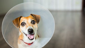 Vet dog collar cute. Close up portrait of funny dog Jack Russell terrier sitting with vet plastic Elizabethan collar Royalty Free Stock Images