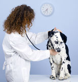 Vet With Dog In Surgery Stock Images