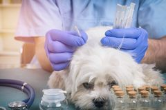 Vet doing acupuncture treatment stock image