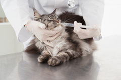 Vet doing injection at a cute grey cat. In medical office stock photography