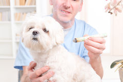 Vet doing moxa treatment Stock Images