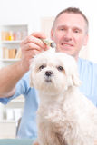 Vet doing moxa treatment Royalty Free Stock Photos