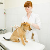 Vet doing vaccination dog Royalty Free Stock Image