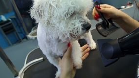 The vet dries the dog`s hair with a hair dryer and combs a dog Bichon Frise. stock video