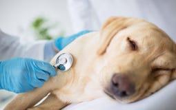 Vet examination sick dog. Vet specialist examination sick dog Royalty Free Stock Images
