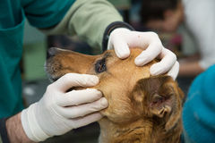 Vet examine the dog eyes before adoption Stock Photos