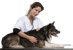 Vet examining a Border Collie with a stethoscope