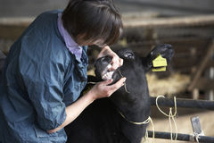 Vet Examining Calf Royalty Free Stock Photography