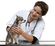 Vet examining a Chihuahua in front of white. Background stock photos