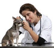 Vet examining a Chihuahua with an otoscope Royalty Free Stock Photography