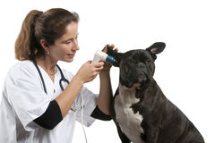 Vet examining a Crossbreed dog. Dog with an otoscope in front of white background royalty free stock photo