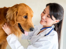 Vet examining a dog Stock Photography