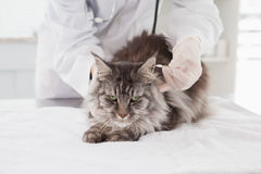 Vet examining a cute grey cat. In medical office royalty free stock image